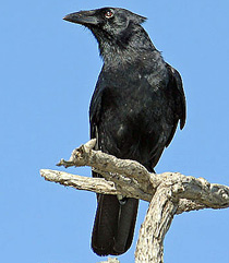 210-palm_crow_Pedro-G-Rod
