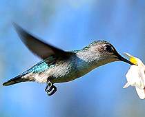 The Cuban bee hummingbird is the smallest bird in the world. Click photo to enlarge.